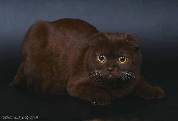 вислоухая шотландская кошка шоколадного окраса фото