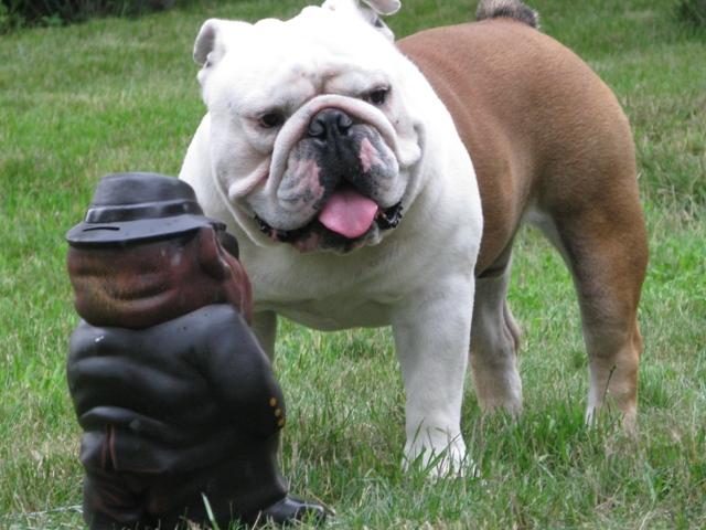 английский бульдог купить щенка цена воронеж
