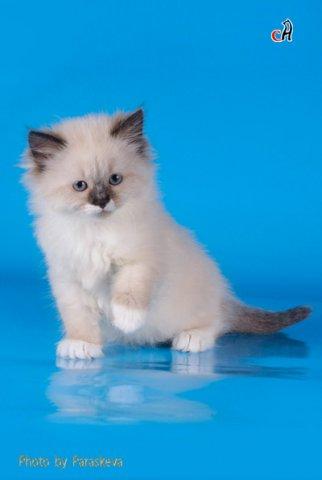 Питомники невских маскарадных кошек в