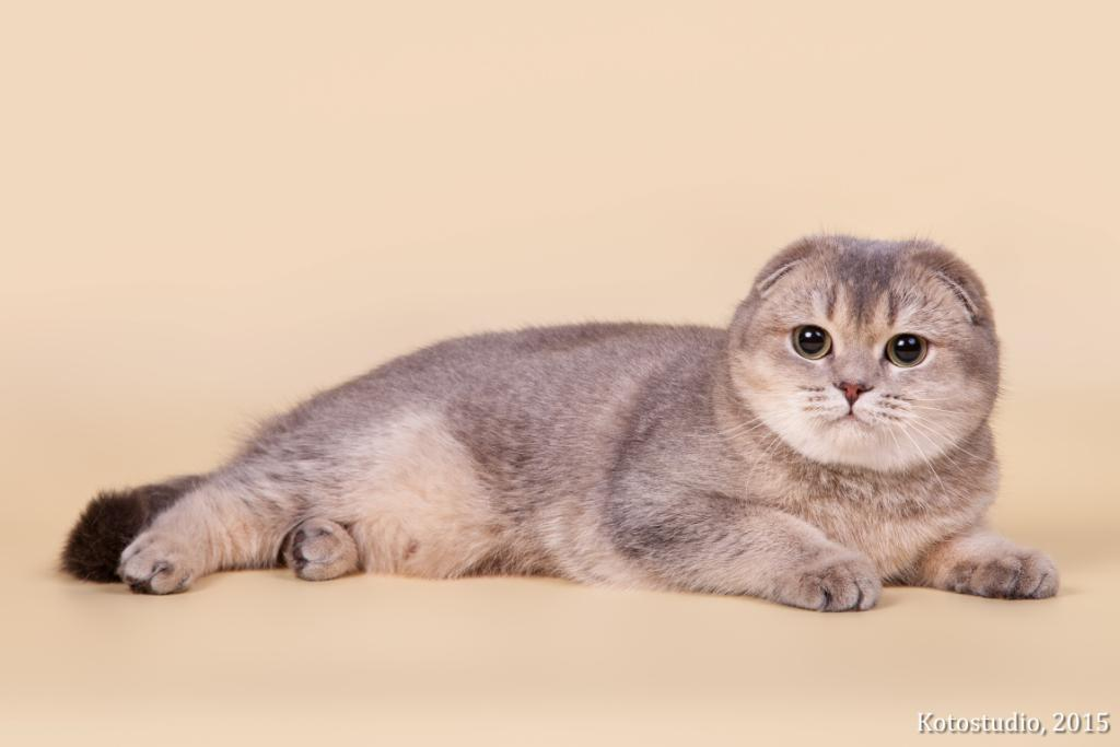 Шотландская короткошерстная вислоухая кошка