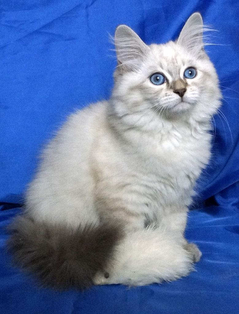 кошки маскарадная порода в дар в спб