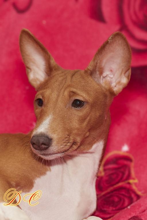 Щенки басенджи-африканской нелающей собаки частные объявления хочу дать объявление о продаже земли, гот