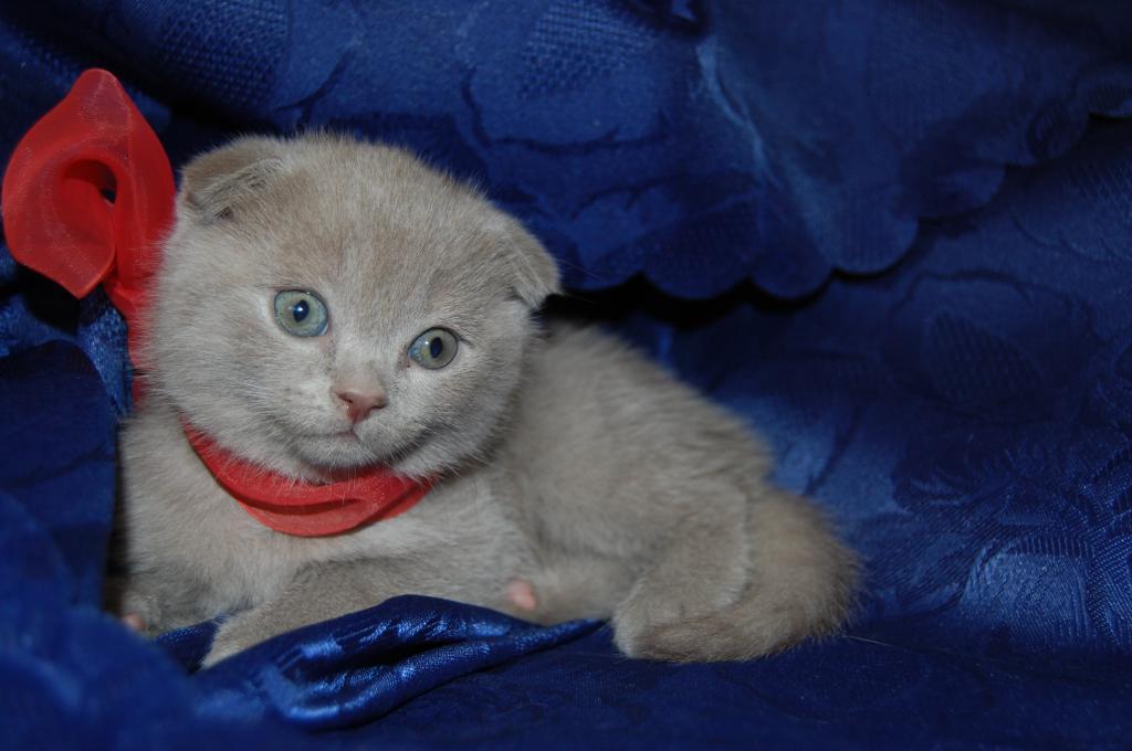 Частные объявления о продаже котят шотландских в ростове авито ачинск объявления услуги строительство